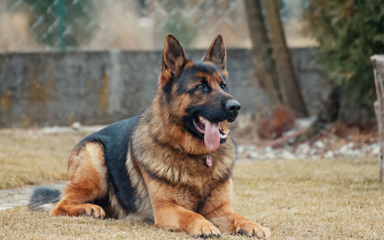 Getting-a-dog-to-protect-property